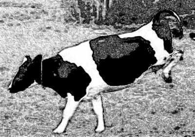 Kicking Cow