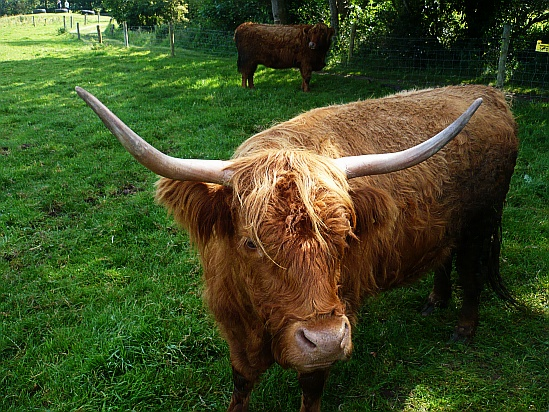 Bull with large horns - Public Domain Photograph