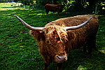 Bull-with-large-horns