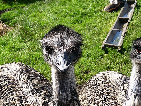 Emu head - Public Domain Photograph