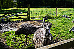 Emus-walking