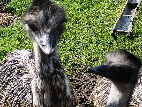 Emus with feeding trough - Public Domain Photograph, Free Stock Photo Image, Free Picture