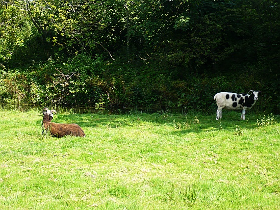 Goats in field - Public Domain Photograph
