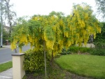 Laburnum-Tree-Yellow