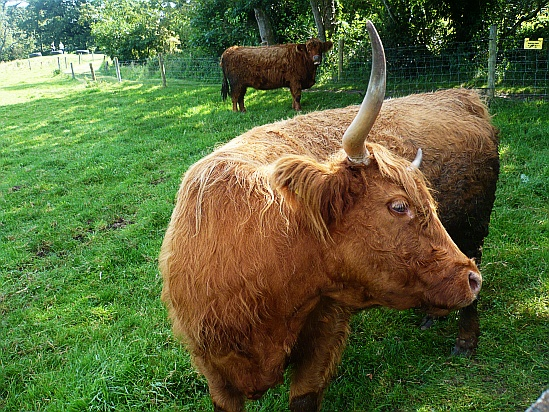 Large bull with horns - Public Domain Photograph, Free Stock Photo Image, Free Picture