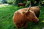 Large-bull-with-horns