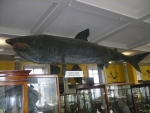 Natural-History-Museum-Dublin-Whale
