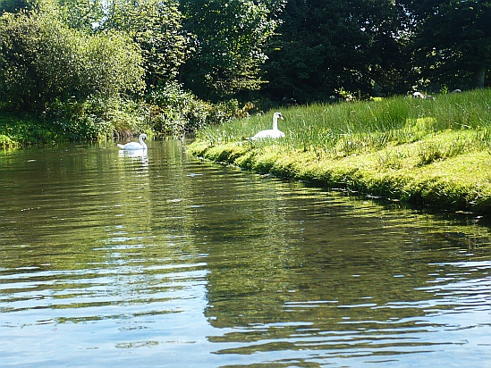 Swans on River - Public Domain Photograph, Free Stock Photo Image, Free Picture