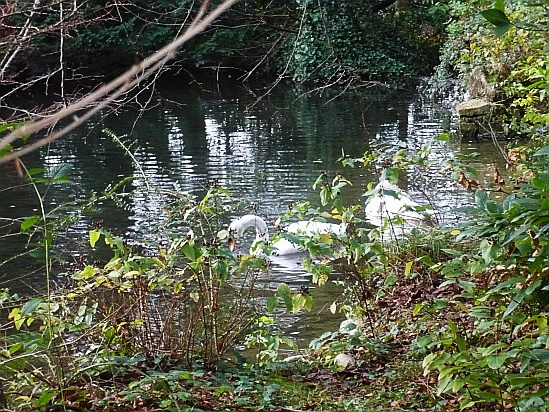 Swans swimming on a lake - Public Domain Photograph, Free Stock Photo Image, Free Picture