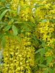Yellow-Laburnum-Flowers