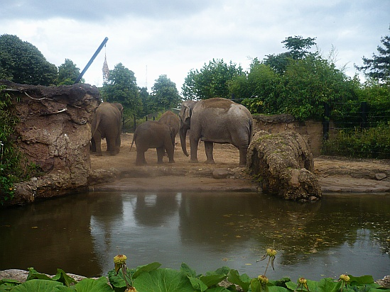 Zoo Elephants Dublin - Public Domain Photograph, Free Stock Photo Image, Free Picture