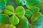 beautiful-shamrocks