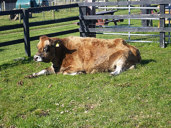 Cow resting - Public Domain Photograph, Free Stock Photo Image, Free Picture