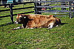 cow-resting
