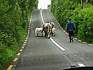 cows-blocking-road