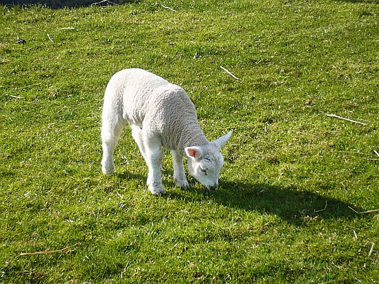 Lamb - Public Domain Photograph, Free Stock Photo Image, Free Picture