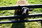 sheep-and-fence