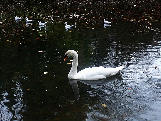 Swan swimming - Public Domain Photograph