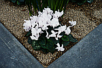 white-cyclamen-flowers